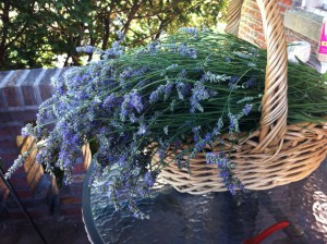 Lavender grown in the Bronx  www.SunRoseAromatics.com