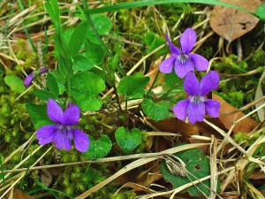 """Viola reichenbachiana 001"" by H. Zell - Own work. Licensed under CC BY-SA 3.0 via Wikimedia Commons - http://commons.wikimedia.org/wiki/File:Viola_reichenbachiana_001.jpg#/media/File:Viola_reichenbachiana_001.jpg"