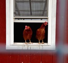 ' The Girls aka hens in the window 2015 www.SunRoseAromatics.com