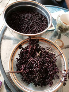 2015_Aug 27 Elderberries in progress
